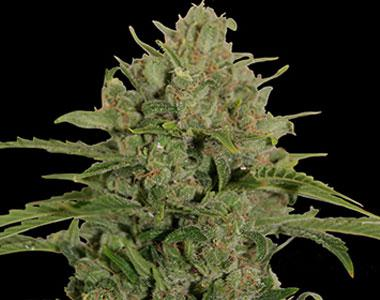 Barneys Farm - Triple Cheese cannabis seed