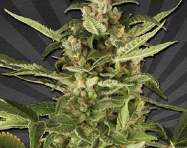Auto Seeds - Juicy Lucy Auto cannabis seed