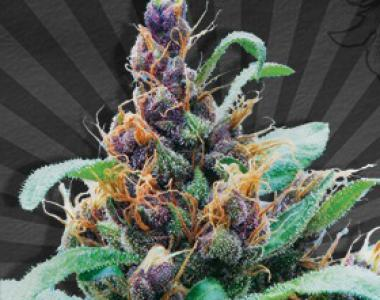 Auto Seeds - Purple Stilton cannabis seed