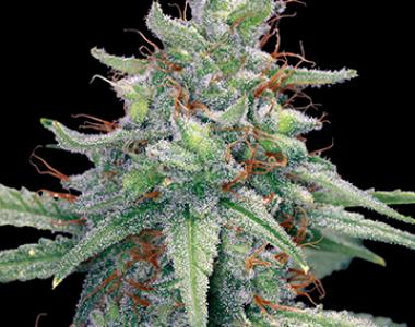 Barneys Farm - Blue Cheese cannabis seed