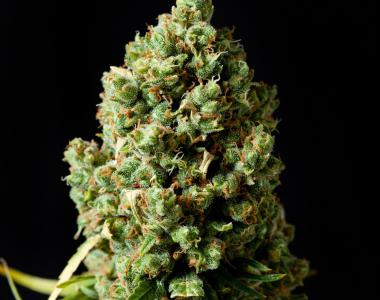 Barneys Farm - Critical Kush cannabis seed