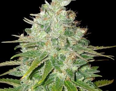 Barneys Farm - Red Diesel cannabis seed