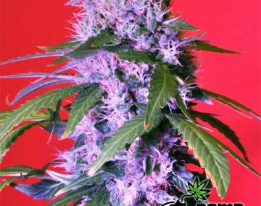 Bomb Seeds - Berry Bomb Auto cannabis seed