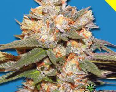 Bomb Seeds - Big Bomb Auto cannabis seed