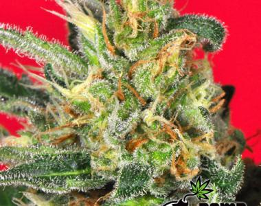 Bomb Seeds - Cluster Bomb cannabis seed