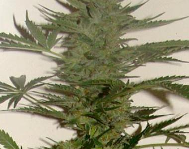 Cream of the Crop - Amphetamine Auto cannabis seed