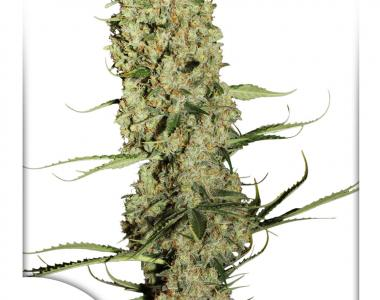 Dutch Passion - Jorges Diamonds #1 cannabis seed