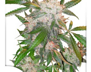 Dutch Passion - White Widow cannabis seed