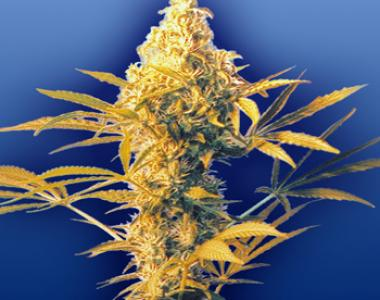 Flying Dutchmen Seeds - Haze Mist cannabis seed