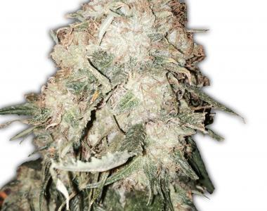 Heavyweight Seeds - Gold Mine cannabis seed