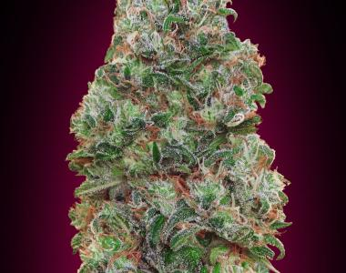 OO Seeds - Bubble Gum cannabis seed