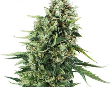 Royal Queen Seeds - Chocolate Haze cannabis seed