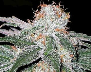 Seedsman - White Widow cannabis seed