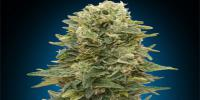 OO Seeds - Female Mix cannabis seeds