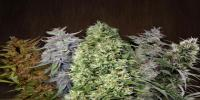 Ace Seeds - Ace Mix cannabis seeds