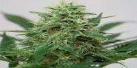 Royal Queen Seeds - Somango XL cannabis seeds