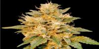 DNA Genetics - SnowLAnd cannabis seeds