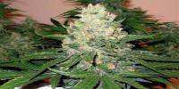DNA Genetics - OG #18 X Skunk cannabis seeds