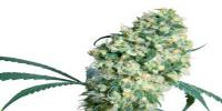 Sensi Seeds - ED Rosenthal Super Bud cannabis seeds