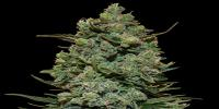 Barneys Farm - Cookies Kush cannabis seeds