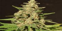 Cream of the Crop - Hybrid X cannabis seeds