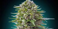 OO Seeds - Autofem Collection #2 cannabis seeds