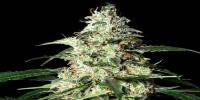 Strain Hunters - Skunk Auto cannabis seeds