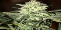 Seedsman - Auto Moscow cannabis seeds