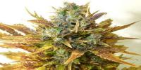 Seedsman - Auto Sour Diesel Haze cannabis seeds
