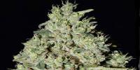 Superstrains - DFA Auto cannabis seeds