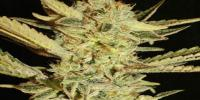 Superstrains - Automatic Fini cannabis seeds
