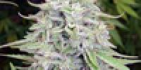 Ace Seeds - Bangi Haze cannabis seeds