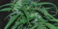 Ace Seeds - Green Haze cannabis seeds