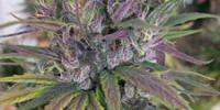 Ace Seeds - Oldtimers Haze cannabis seeds