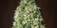 Ace Seeds - Orient Express cannabis seeds