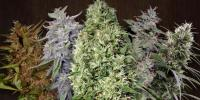 Ace Seeds - Tropical Mix cannabis seeds