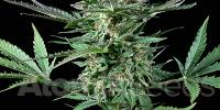 Atomik Seeds - Auto Bud cannabis seeds
