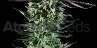 Atomik Seeds - Blue Cheese cannabis seeds
