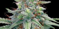 Barneys Farm - Blue Cheese cannabis seeds