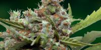 Barneys Farm - CBD Blue Shark cannabis seeds