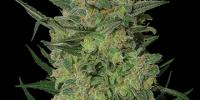 Barneys Farm - LSD cannabis seeds