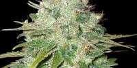 Barneys Farm - Red Diesel cannabis seeds