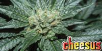 Big Buddha - Cheesus cannabis seeds