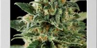 Blim Burn Seeds - Critical Automatic cannabis seeds