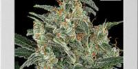 Blim Burn Seeds - Kabrales Automatic cannabis seeds