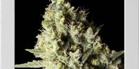Blim Burn Seeds - Narkosis cannabis seeds