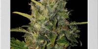 Blim Burn Seeds - Santa Muerte cannabis seeds