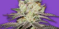Bomb Seeds - Killer Purps cannabis seeds