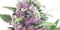 Bomb Seeds - THC Bomb cannabis seeds