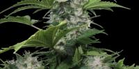 Buddha Seeds - White Dwarf cannabis seeds